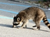 903391_rabid_raccoon